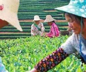 普洱茶已获5项国家专利 有效预防和治疗糖尿病
