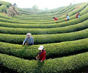 勐海普洱茶种植农业标准化示范区通过标准审查