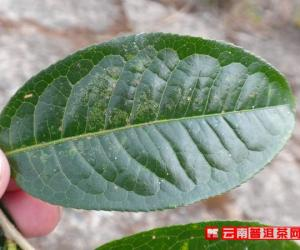 关于云南野生古树茶您需要知道的