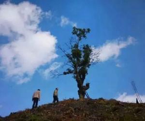 云南省古树茶面积与产量真相调查