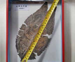 云南普洱惊现27厘米长的大茶叶片